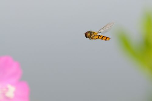 hoverfly insect fly