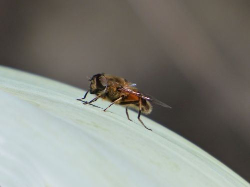 hoverfly false bee detail