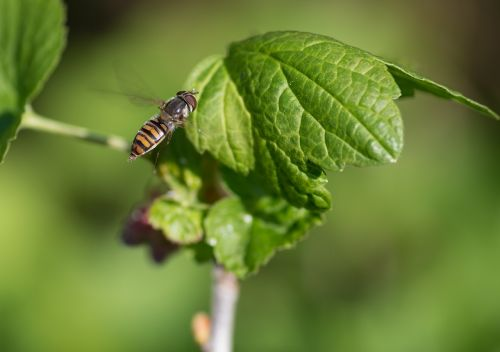 hoverfly pollinator insect