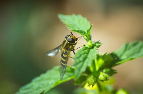 hoverfly insect brennessel