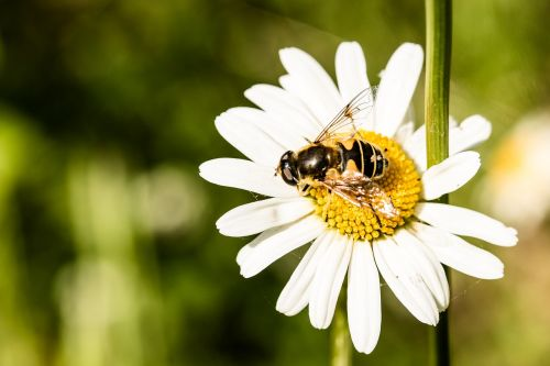 hoverfly eristalis tenax mist bee