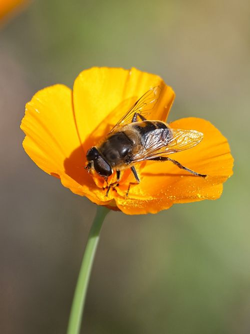 hoverfly fly insect