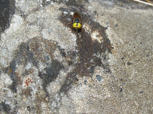 hoverfly false bee rock