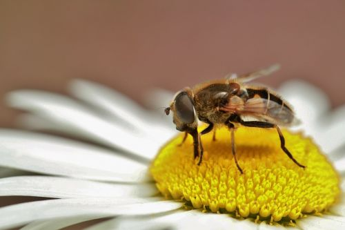 hoverfly insect nature