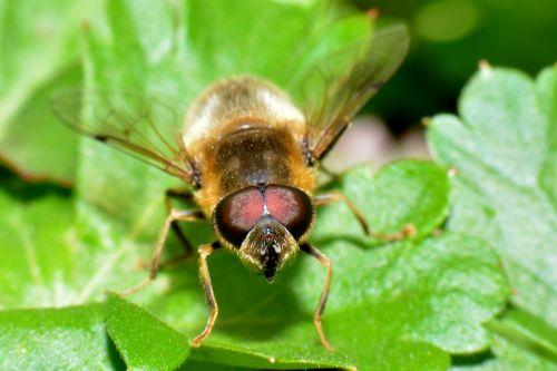 hoverfly bug macro