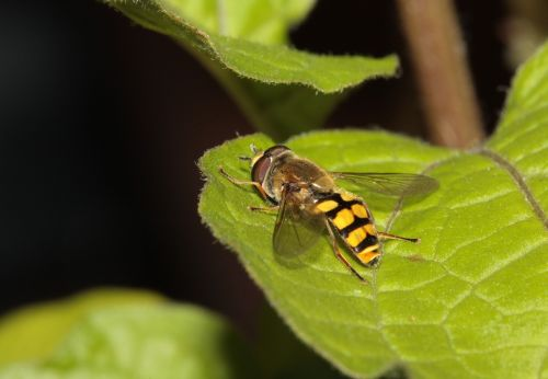 hoverfly insect wing