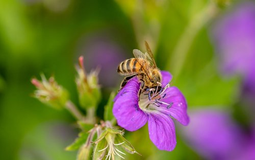 hoverfly  dung fly  insect