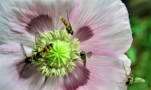 hoverfly  insect  flower