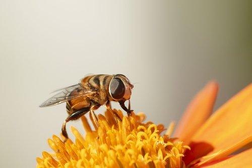 žiedmusės, vabzdžiai, skrenda, saulėgrąžomis, makro, oranžinė, sparnai, pobūdį, lauke, žiedadulkės, gėlė, žiedas, vasara, Florida