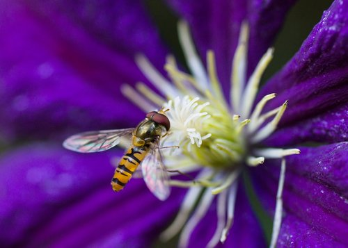 hoverfly  insect  clematis