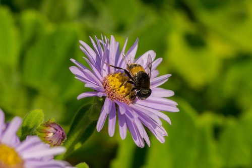 hoverfly  flowers  insects