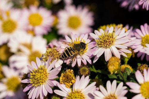 hoverfly  flowers  macro
