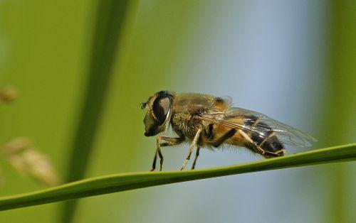 Hoverfly,vabzdys,makro,gamta,makro nuotrauka,vabzdžių makro,bičių,nektaras,gyvūnų pasaulis,gyvūnas