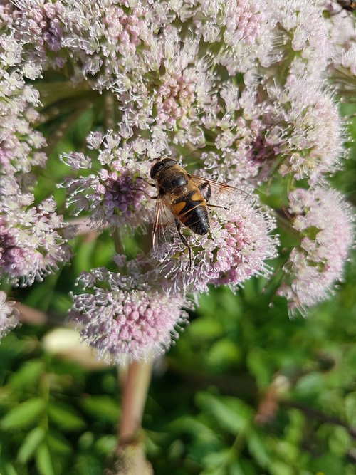 hoverfly  mist bee  flight insect