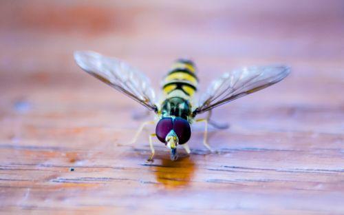 Hoverfly,vabzdys,gamta,makro,Uždaryti,gyvūnas,vasara,geltona,medus,makro nuotrauka,sparnas,vabzdžių makro,gyvūnų pasaulis,bičių,skristi