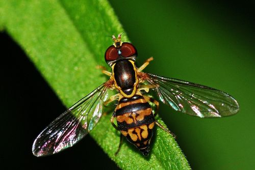 hoverfly insect syrphid