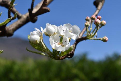 however  flower  pera