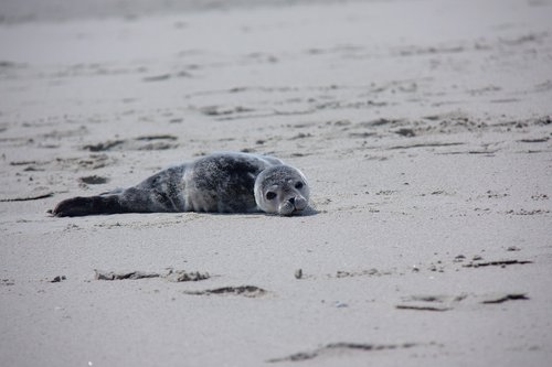 howler  seal  robbe