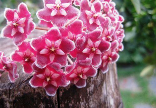 hoya wax plant flowers