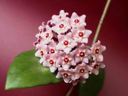 hoya  waxflower  porcelainflower
