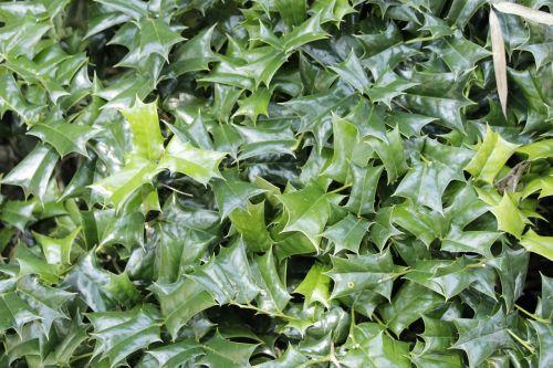 Huangshanas,žaliosios lapinės augalai,plona tekstūra