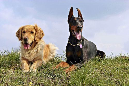 doberman golden retriver dogs