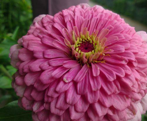 huge flower flower blossom