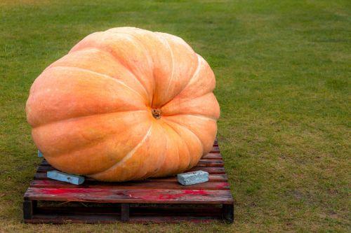Huge Pumpkin On A Pallet