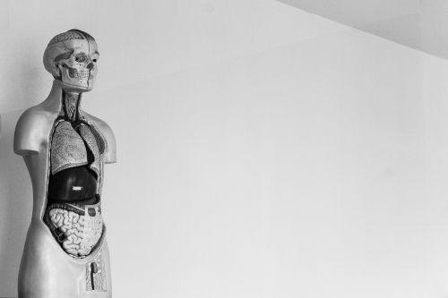 human skeleton body