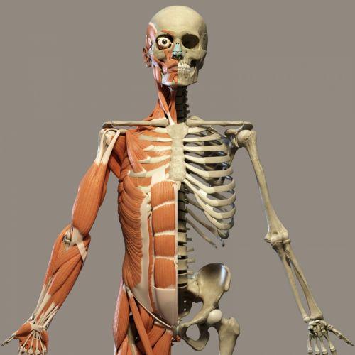 Human Anatomy Front