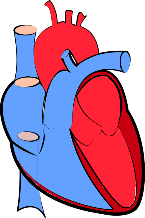 human heart blood flow oxygenated and deoxygenated