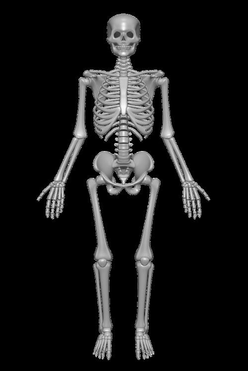 human skeleton bones skull