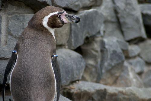 humboldt penguin humboldt penguin