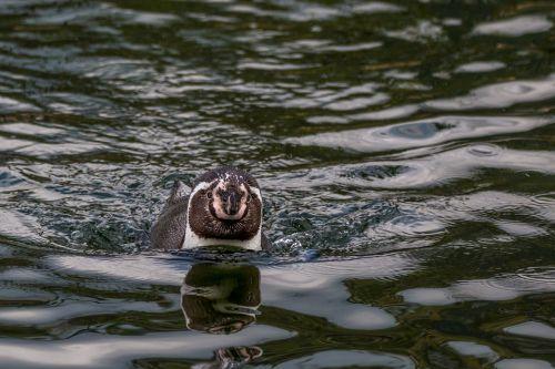 humboldt penguin swim penguin