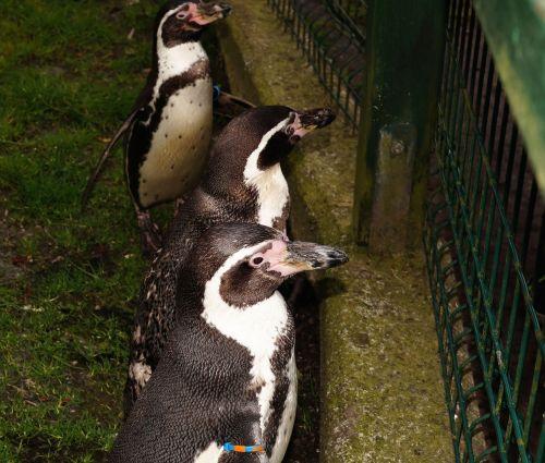 humboldt penguin spheniscus humboldti penguin