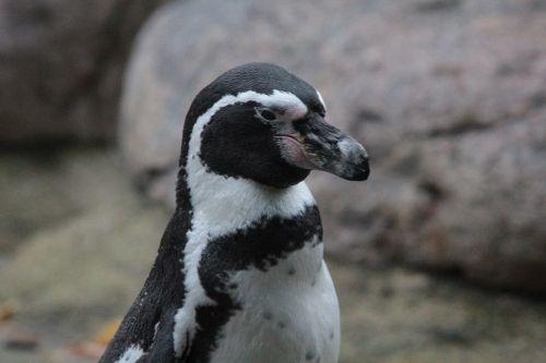 humboldt penguin penguin spheniscus humboldti