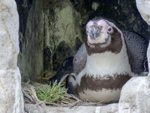 humboldt penguin breeding penguin