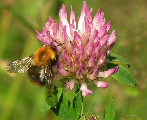 Bumblebee On Clover Flower
