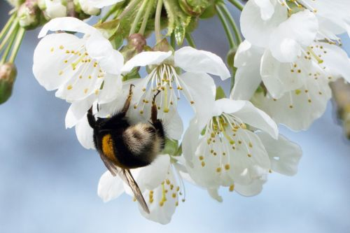 hummel,spring,flower,pollen,insect,nature,blossom,bloom,close,pentecost,spring bloom,cherry blossoms,bloom,plant