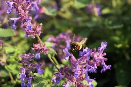 Hummel,vabzdys,gyvūnas,violetinė,žiedas,žydėti,Uždaryti,gamta,makro,žiedadulkės,augalas,sparnas,pabarstyti,vasara,violetinė