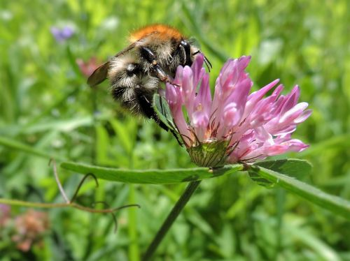 hummel red clover meadow