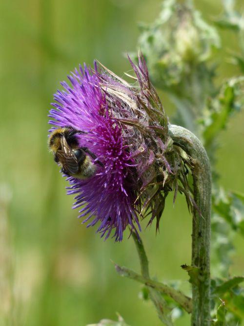 hummel pollination cirsium vulgare