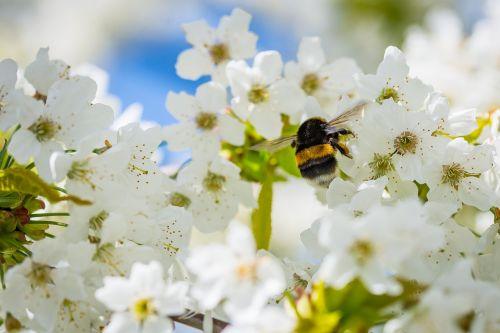 Hummel,vyšnių žiedas,rinkti nektarą,vabzdys,žiedadulkės,gamta,pavasaris,gyvūnas,rinkti žiedadulkes,sodas,pavasarinis žydėjimas,sunkiai dirbantis,apdulkinimas,geltona