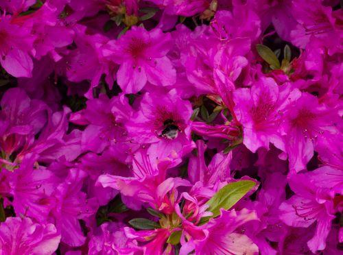 hummel purple flower
