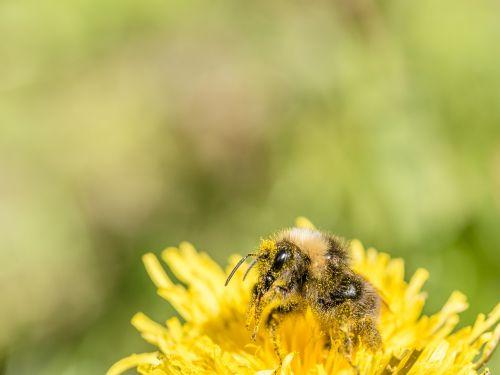hummel dandelion collect pollen