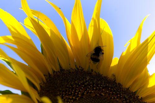 hummel sun flower pollen