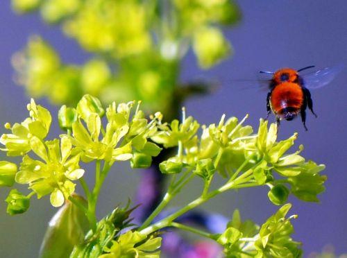 hummel fly summer