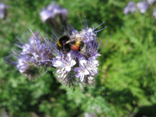 hummel nectar blossom