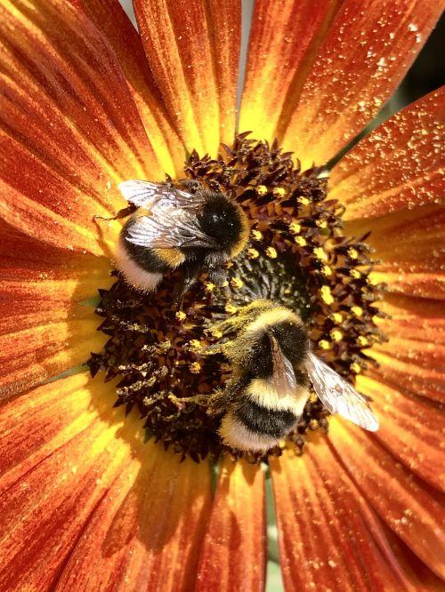 hummel bumblebees bourdon