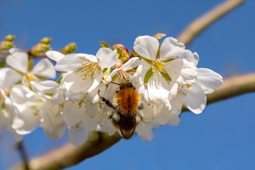 hummel  bombus  cherry blossom